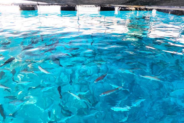 特産真鯛の養殖場