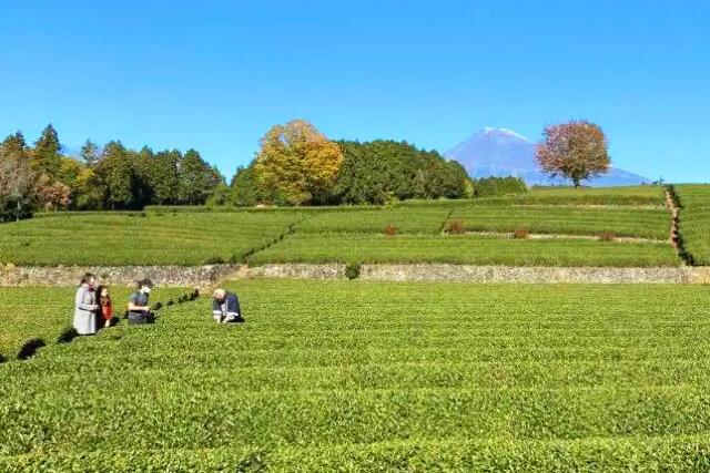 電線が映り込まない希少な茶畑越しの富士山撮影ポイント